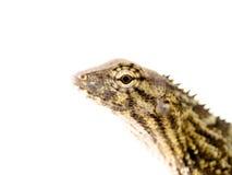 Close up big eyes of small reptile Royalty Free Stock Photos