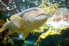 Close Up Big Fish. Underwater in aquarium Stock Image
