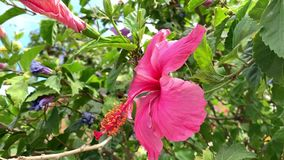 Close up of big flower of Hibiscus plant blue sky background. stock video
