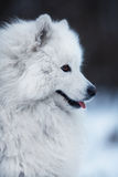 Close-up of a big fluffy dog Stock Image