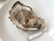 Close up big fresh raw oyster. Close up big fresh raw oyster on white dish Stock Photography