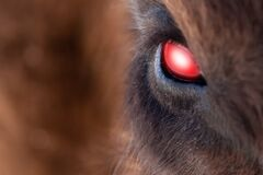 Close-up on the big the glowing evil red eye of a demon or satan, animal, bull, bison, cow or horse with brown hair and reflection