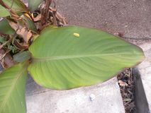 Big green leaf of Canna lily plant stock photography