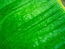 Close up Big Green leaf after the rain royalty free stock images
