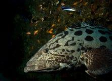 Close up of a big grouper . Stock Image