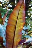 Close-up of big leaf calathea ornata stock photos