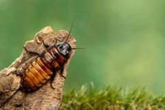 Free Close-up Big Madagascar Hissing Cockroach On The Snag  On Green Background Stock Photo - 150914190