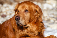 Close up Big Male Golden Retriever Outdoor Portrait Royalty Free Stock Images
