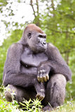 Close-up of a big male gorilla Royalty Free Stock Images
