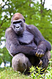 Close-up of a big male gorilla Royalty Free Stock Image