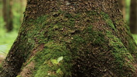 Close up of big pine tree trunk. Roots and trunk of huge pine tree with rich beautiful texture overgrown with green moss in summer forest. Tilt up macro shot stock footage