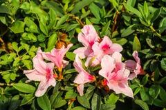 Closeup of Big pink azalea bush in the garden Royalty Free Stock Images