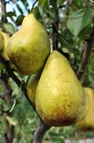 Ripe pears on a tree in the orchard Royalty Free Stock Image