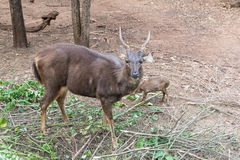 Close up of big and small Barking deer Muntjac.  Royalty Free Stock Photos