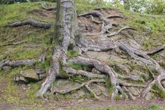 Close up on big tree roots Royalty Free Stock Images