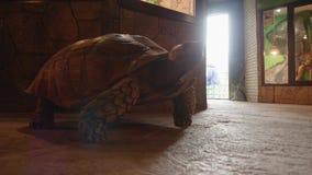 Close up of big turtle on floor. Of exotarrium stock video footage