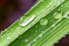 Close-up big water drops on green fresh grass. Beautiful leaf texture with morning dew in nature. Natural background wallpaper.  royalty free stock photo