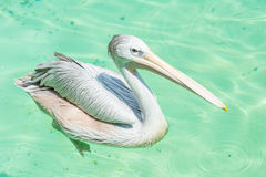 Close-up of a big white pelican bird in a pond. Close-up of a big white pelican bird swimming in a pond in the zoo Stock Image