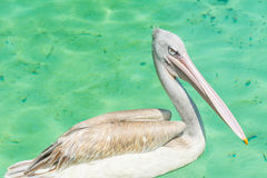 Close-up of a big white pelican bird in a pool. Close-up of a big white pelican bird standing in a pool in the zoo Royalty Free Stock Photography