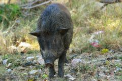 Close up wild boar. Close up big wild boar Royalty Free Stock Photography