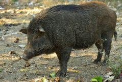Close up wild boar. Close up big wild boar Royalty Free Stock Image