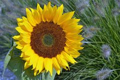 Close up of  a big yellow sunflower in the sun light in the flower field Stock Images