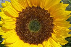 Close up of  a big yellow sunflower in the sun light in the flower field Royalty Free Stock Photos
