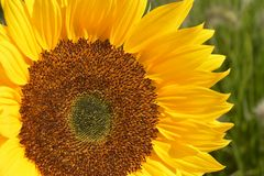 Close up of  a big yellow sunflower in the sun light in the flower field Royalty Free Stock Image