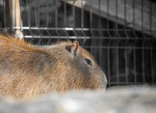 Close up of biggest rodent capybara. Slovenia Royalty Free Stock Images