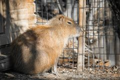 Close up of biggest rodent capybara. Slovenia Royalty Free Stock Photography
