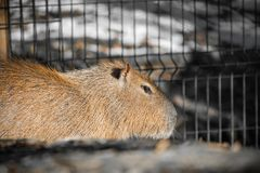 Close up of biggest rodent capybara. Slovenia Royalty Free Stock Photo