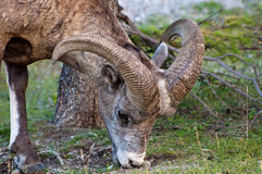 Close up of a Bighorn Sheep Royalty Free Stock Photo