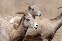 Close up of bighorn sheep. Stock Photos