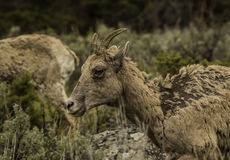 Close up Bighorn sheep head shot at Yellowstone National park Stock Images