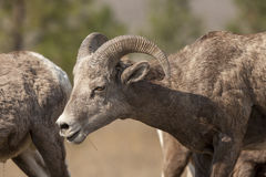 Close up of bighorn sheep. Stock Images