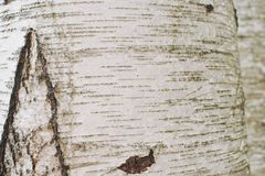 Close up of birch bark. royalty free stock images