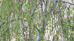 Close-up of birch tree branches in spring. Betula pendula. Close-up of beautiful birch tree branches with white bark blown by wind in spring with small fresh stock video footage
