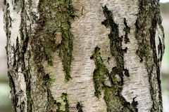 Close up of a Birch Tree Stock Image