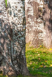 Close up of a birch tree trunk early fall. Royalty Free Stock Photos
