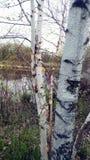 Close up of birch tree Stock Photos