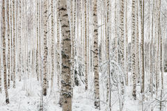 Close-up of a birch wood in winter in Finland royalty free stock images