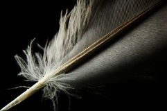 Close-up bird feather individual. With comfortable scence royalty free stock image