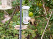 Close up of bird feeder in garden with bird eating and bird in m. Otion flying Royalty Free Stock Image