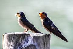 Close-up of Bird Pacific swallow (Hirundo tahitica) isolated in Stock Photography