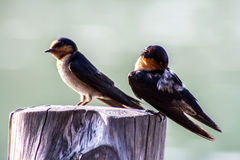 Close-up of Bird Pacific swallow (Hirundo tahitica) isolated in Royalty Free Stock Images