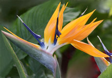 Close up of Bird of Paradise Stock Images