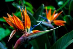 Close up from a bird of paradise blossoms royalty free stock images