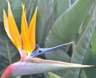 Close up of a bird of paradise. Royalty Free Stock Photography