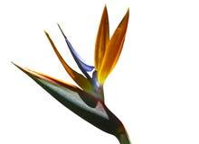 Close Up Bird of Paradise Flower Royalty Free Stock Photos