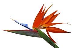 Close-up of bird of Paradise Plant Stock Photo